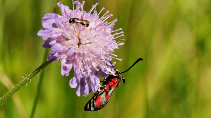 Das Summen verstummt - Lebensraumschwund und Pestizide gefährden Insekten