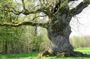 Alte Bäume sind bessere Kohlenstoffspeicher